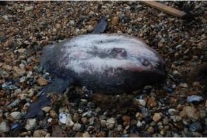 beached sunfish